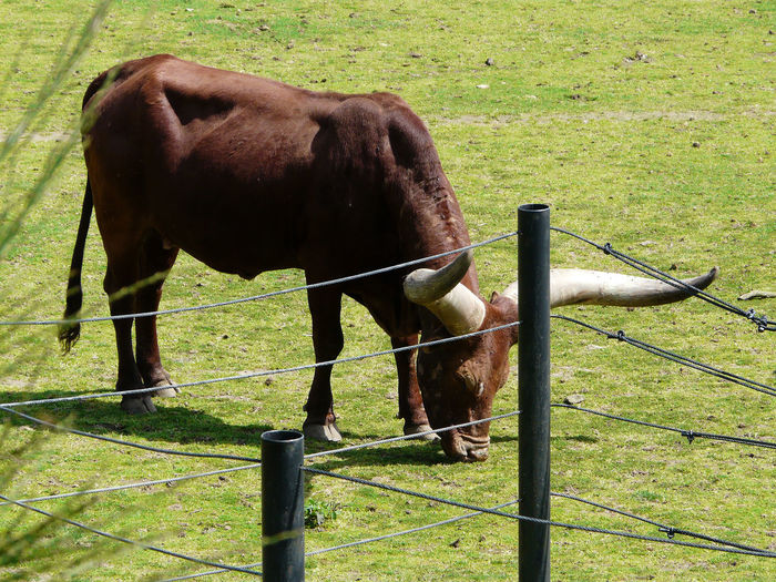 photo Fr Herbovirous Horns MEGA Horns Animal Themes Brown Day Field Grass Grazing Herbivorous Livestock Livestock Theme One Animal In Brittany south