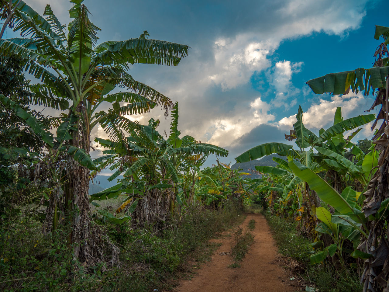 Pathway Amidst Banana Trees At Field Against Sky