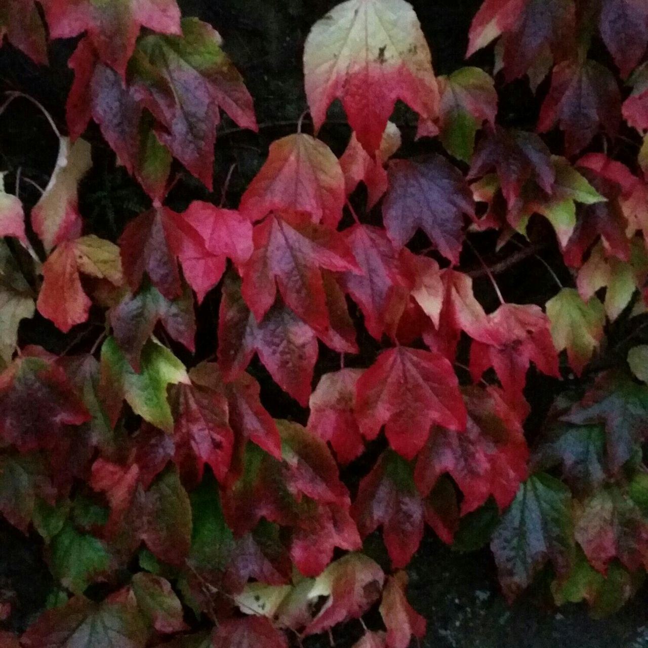 leaf, change, autumn, nature, backgrounds, fragility, day, no people, outdoors, close-up, full frame, beauty in nature, red, growth, maple leaf, maple