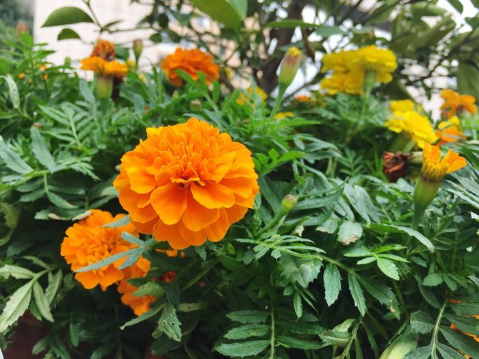 Flower Orange Color Fragility Growth Plant Freshness Blooming Beauty In Nature Flower Head Nature Petal Leaf Green Color Yellow Close-up Day Outdoors