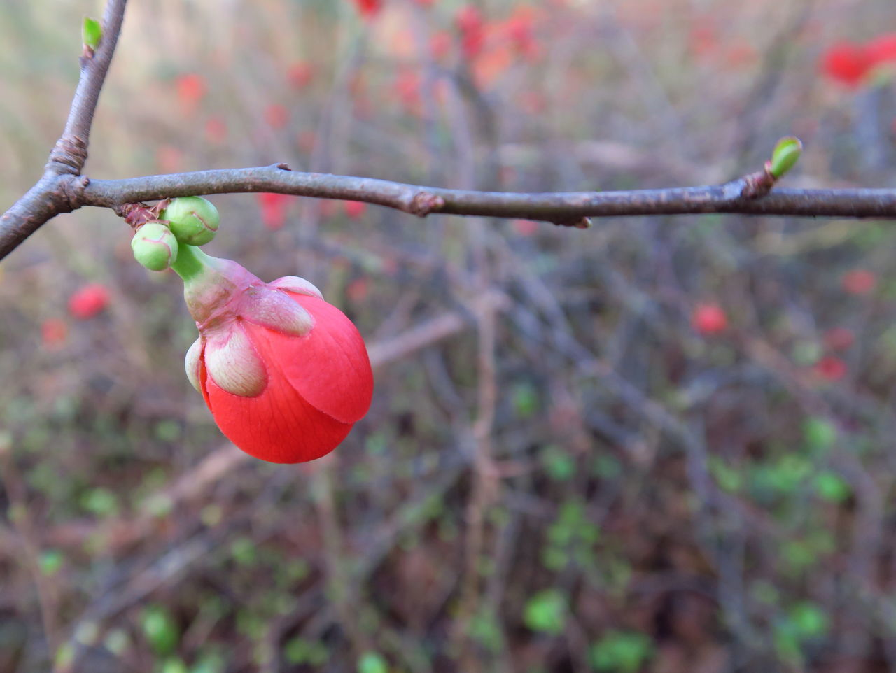 fruit, focus on foreground, growth, food and drink, day, tree, freshness, outdoors, close-up, branch, beauty in nature, nature, no people, rose hip, red, food, healthy eating