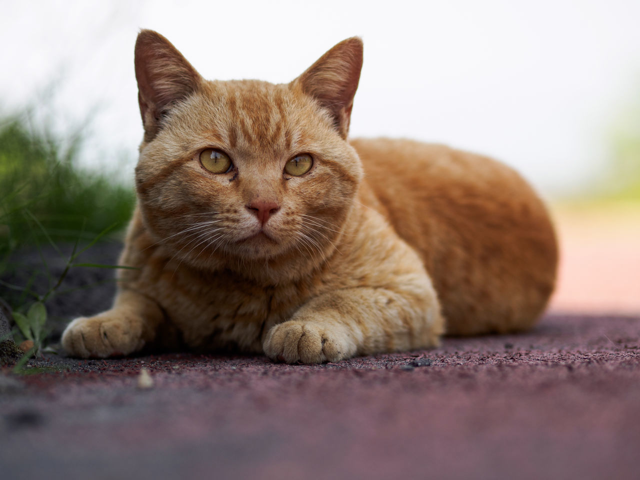 Photos from Sakurajima, Japan Animal Themes Close-up Day Domestic Animals Domestic Cat Feline Ginger Cat Japan KYUSHU Looking At Camera Lying Down Mammal No People One Animal Outdoors Pets Portrait Relaxation Selective Focus Sitting Whisker
