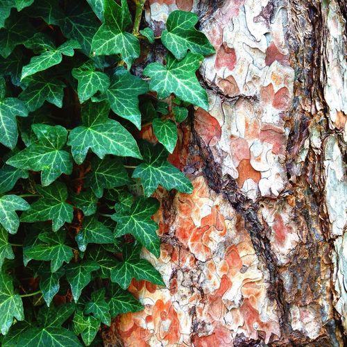 Nature Tree Creeping Ivy