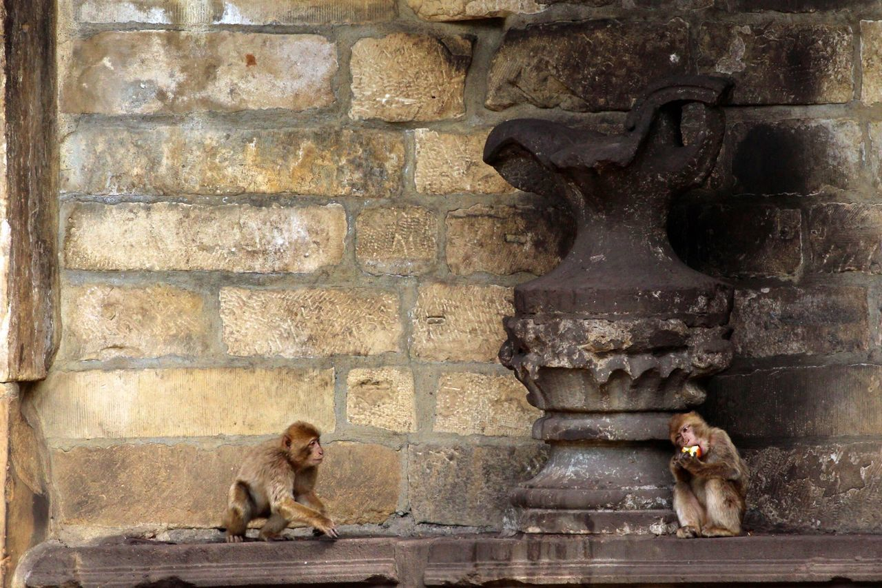 brick wall, monkey, sitting, mammal, animal themes, outdoors, one animal, animal wildlife, architecture, day, no people, baboon, animals in the wild
