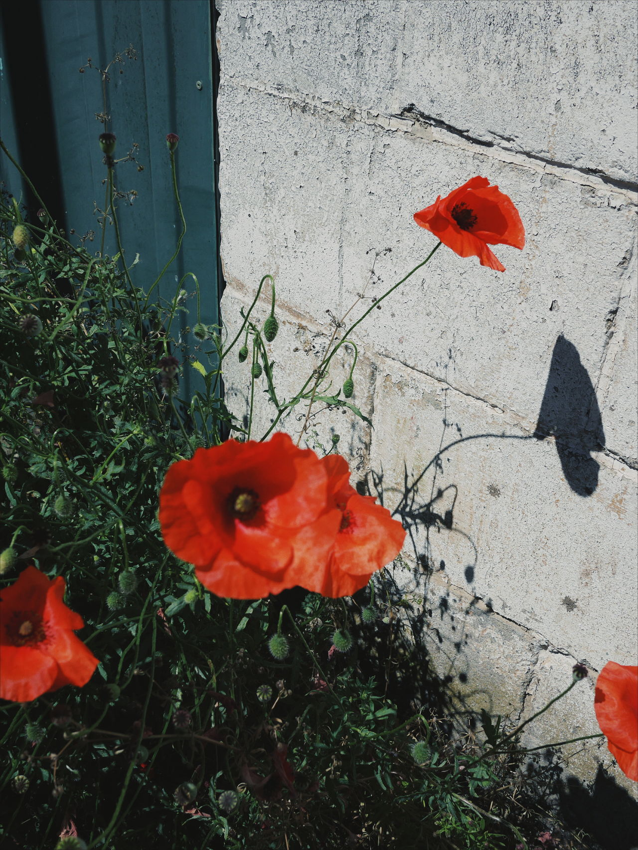 Red Poppy Leaf Outdoors Flower Day High Angle View Nature No People Sunlight Growth Fragility Beauty In Nature Close-up Flower Head