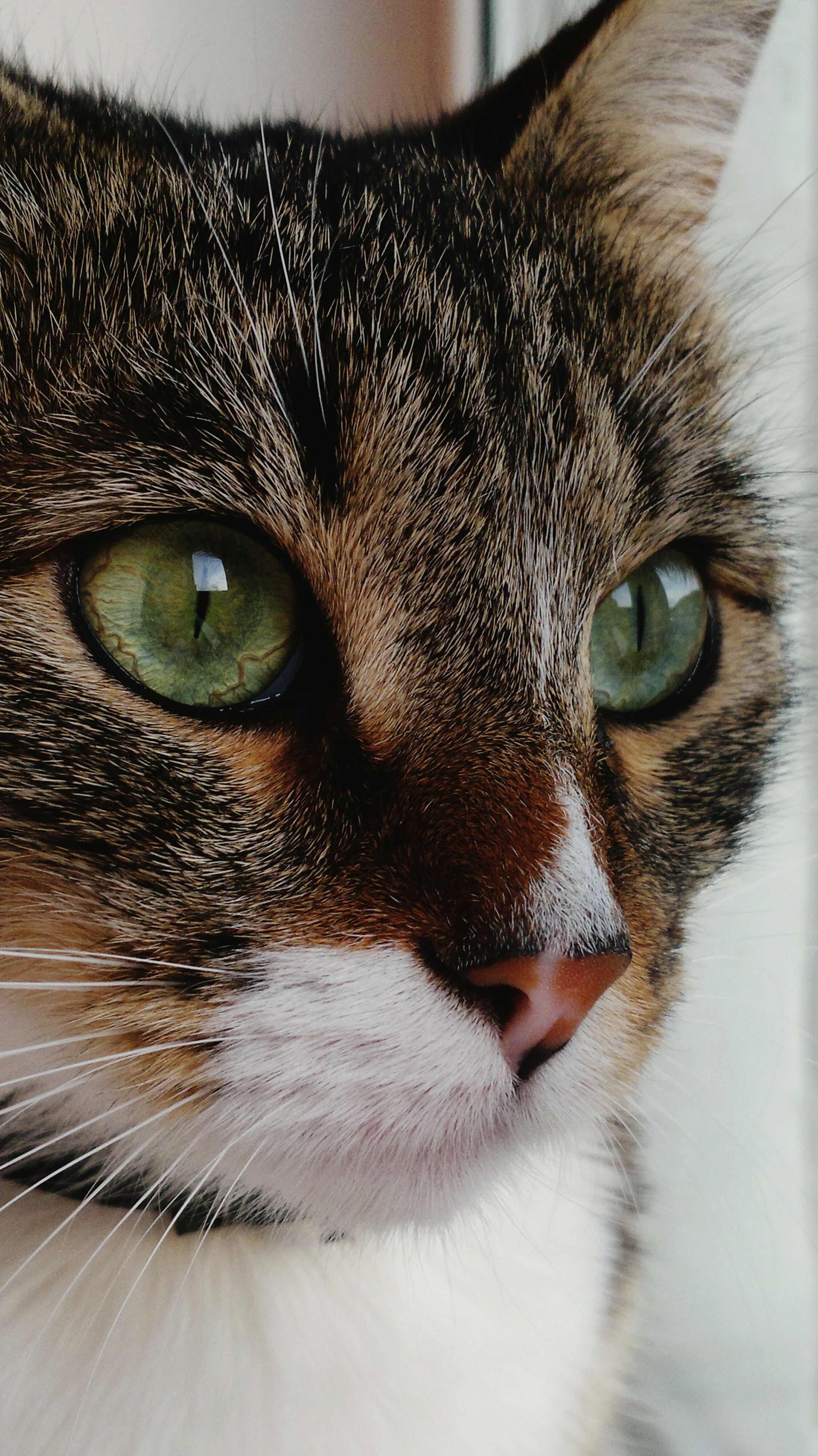 pets, one animal, animal themes, domestic animals, domestic cat, cat, animal eye, animal head, close-up, mammal, whisker, feline, portrait, looking at camera, indoors, animal body part, staring, part of, snout, alertness