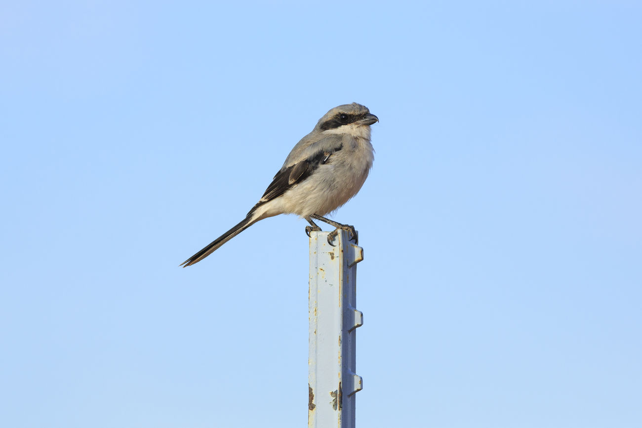 Northern Shrike Birds Of EyeEm  Utah United States Nature Birdwatching Feathered Friends Beautiful Birds Animals Birds Animals In The Wild Bird Photography Wildlife Photography EyeEm Best Shots Beautiful Nature EyeEm Best Shots - Nature I Hope My Pictures Touch Your Hart Canon Canon 5d Mark Lll Cute Animals