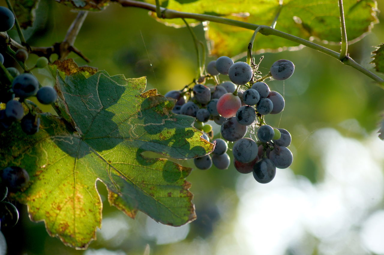 Agriculture Autumn Feeling Autumn Fruits Berry Fruit Bunch Of Grapes Close-up Cluster Of Grapes Focus On Foreground Food And Drink Freshness Fruit Grape Grape Fruit Grapes Growth Healthy Eating Juicy Leaf Nature Organic Red Grape Ripe Rural Scene Vineyard Winemaking