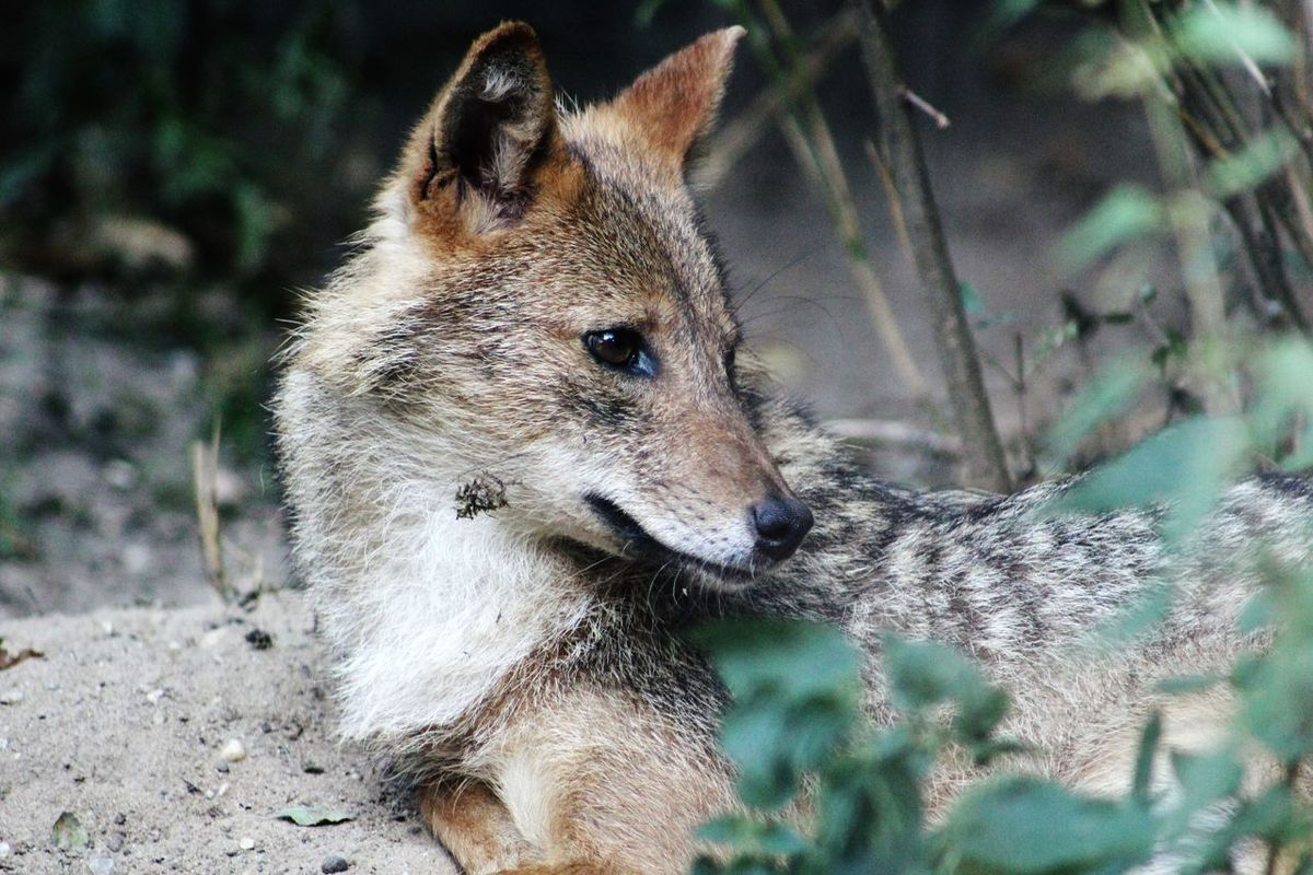 Jackal One Animal Animal Themes Close-up Looking Away Focus On Foreground Mammal Day Animal Head  Zoology Looking No People Beauty In Nature Tranquility Beauty In Nature Beautiful Outdoors Filtered Image Animals Animal Animal Photography Animal_collection