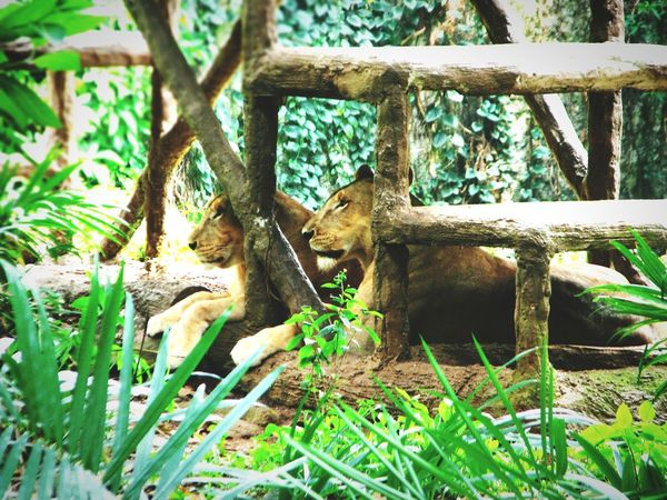 Queen of the jungle :) Ragunan Zoo Jakarta Indonesia INDONESIA Indonesia_photography Animals Lion Zoo Colour Of Life Cute Nature Photography Relaxing Outdoor Photography Togetherness Lions Lioness
