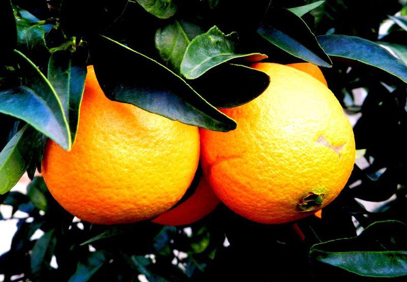 Arancia Autumn Fruit Naranja Nature Orange Orange - Fruit Sicilia Sicily Tree