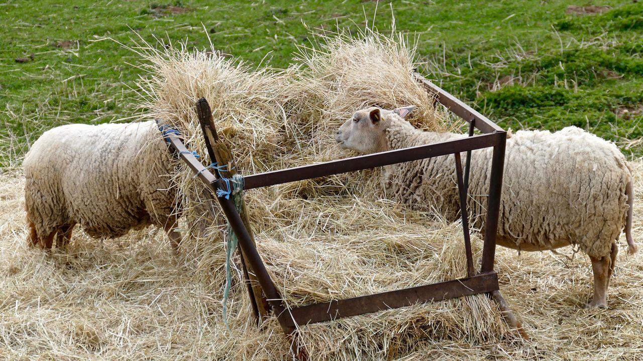 Sheep Grazing On Field At Farm
