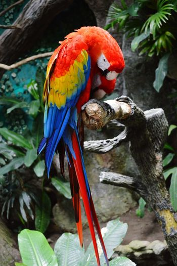 Macaws Macaws On A Log A Bird's Eye View A Bird Natural Beauty Macaw Red Macaw Mountain, Birds, Macaw Beuatiful❤ Animal Portrait Bird Close Up Bird Photography Birds_collection Bird Thinking Naturelover Nature Textures Bird Texture Macaw Macaw Red And Go