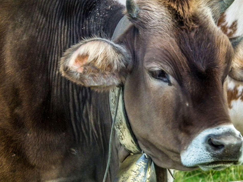 Animal Animal Head  Animal Themes Animale Bergwelten Close-up Cow Day Domestic Animals Kuh Livestock Mammal Montagna Mountain Mucca Nature No People One Animal Outdoors Portrait Tier
