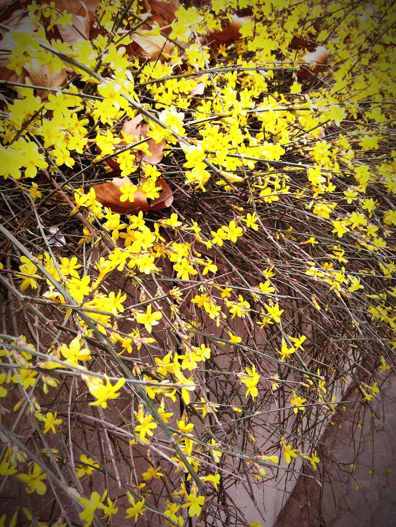 春·迎春花 花朵
