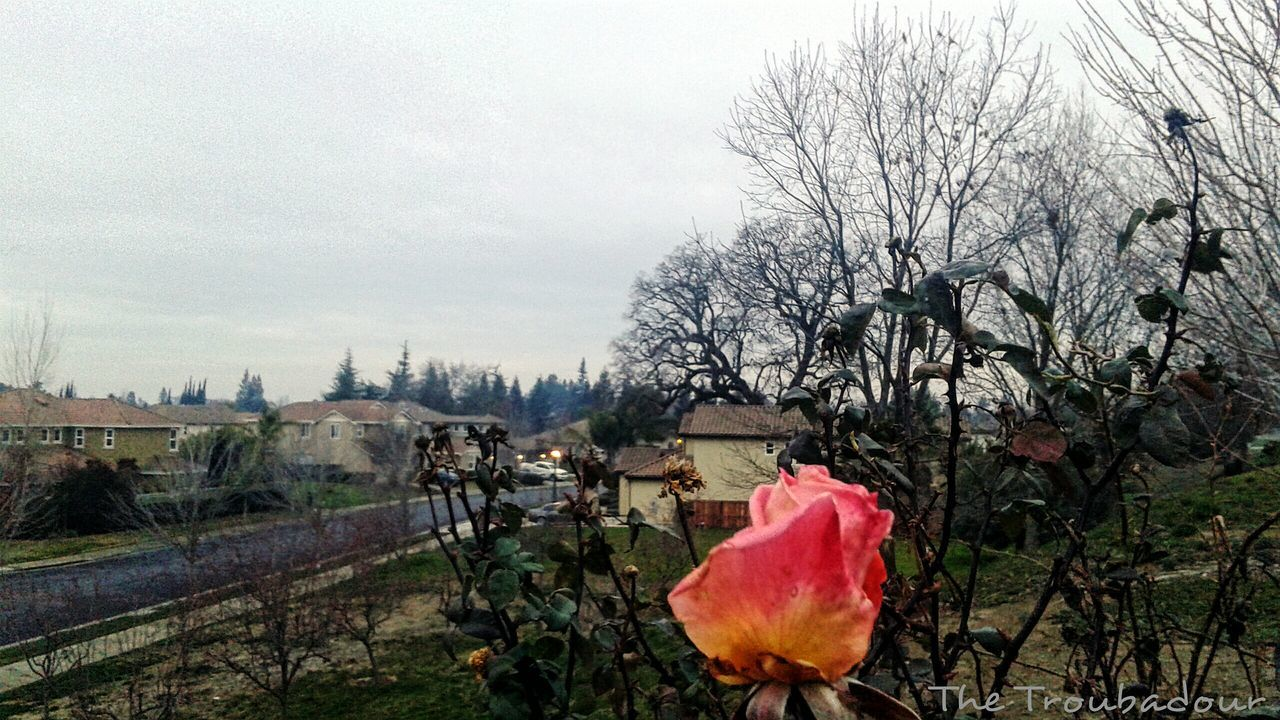 "First Eyeem Photo ""Not even the cold winter can wither the beauty of the last rose of the season."" Check This Out Taking Photos Hello World Relaxing Photo Jogging Enjoying Life No People Samsungphotography Throughmyeyes Mobilephotography Snapshots Of Life From My Point Of View in Sacramento, California"