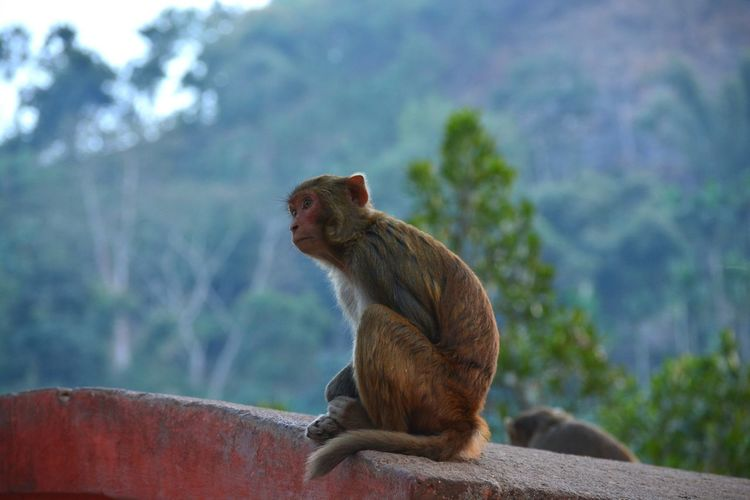 Animals In The Wild Animal Themes Mammal One Animal Animal Wildlife No People Day Yawning Outdoors Animals In The Wild Nautical Vessel Monkeys Macaque Monkey Temple