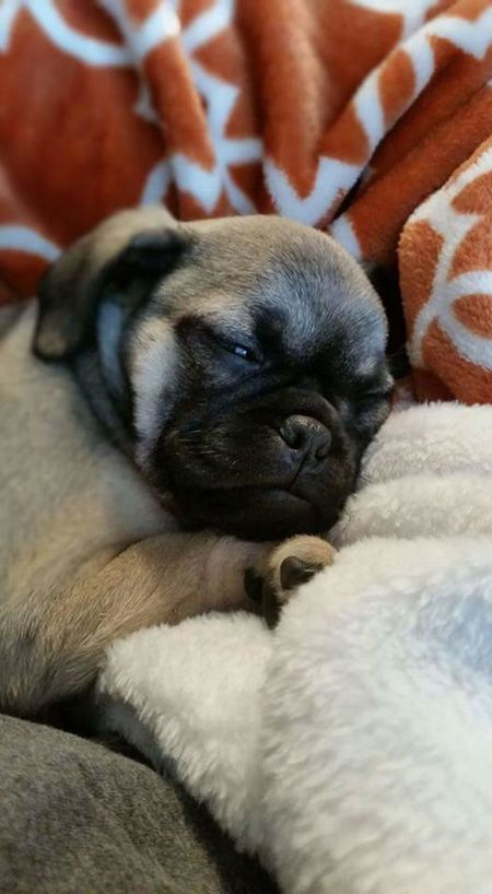 Puppies Puppy Pupply Love Sleeping Pug Puglife Dogs Dogslife Dog Puppies ✌ Puppy❤ Pug Love Pugs Pug Life  Sleepy Sleeping Dog Colour Of Life Blanket