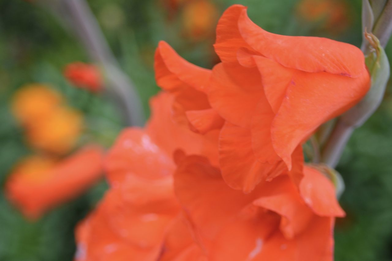 flower, petal, fragility, beauty in nature, nature, flower head, freshness, growth, blooming, plant, rose - flower, orange color, outdoors, close-up, drop, no people, day, water