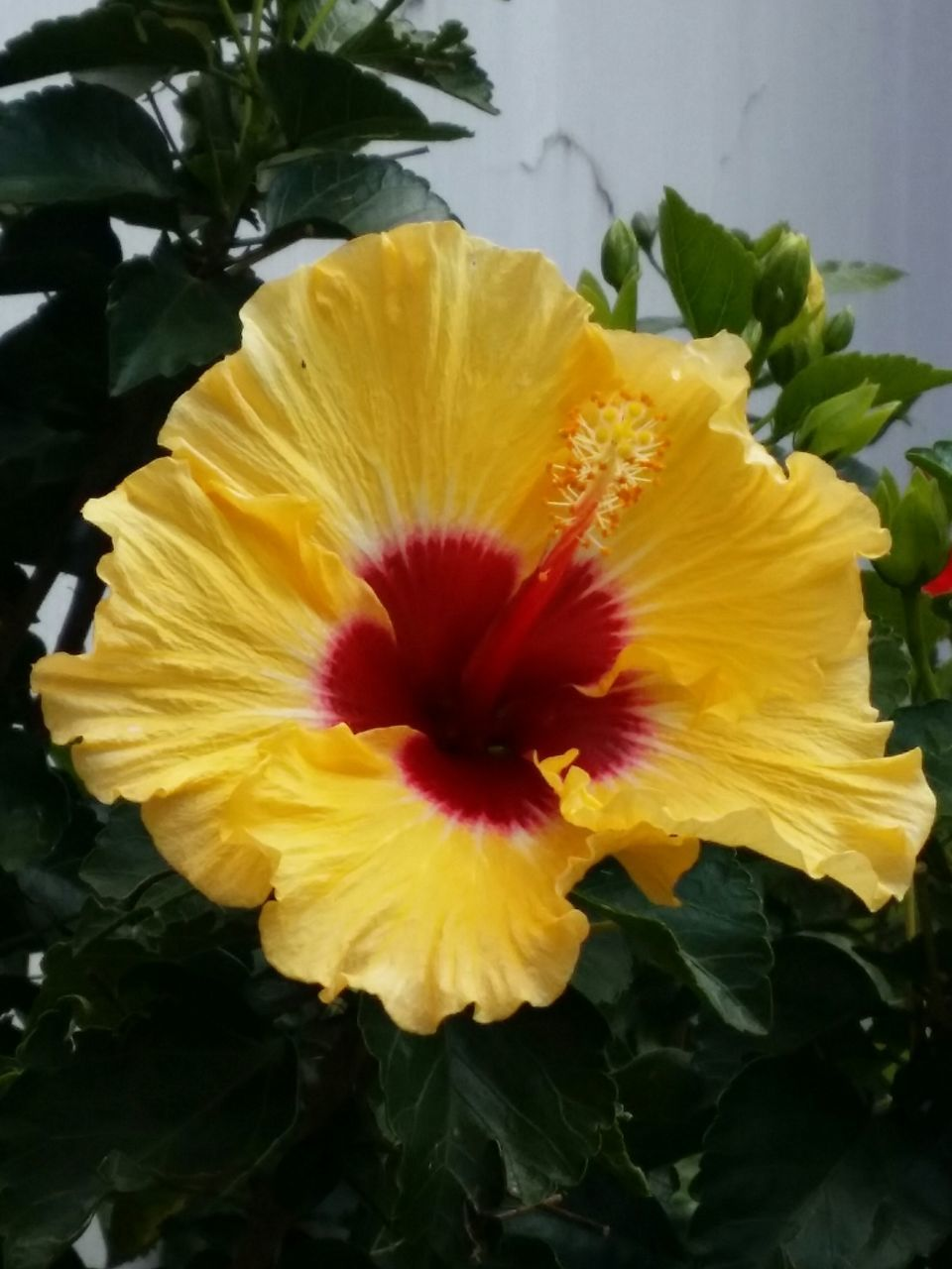 flower, yellow, petal, flower head, fragility, beauty in nature, freshness, nature, no people, close-up, plant, hibiscus, growth, outdoors, blooming, day