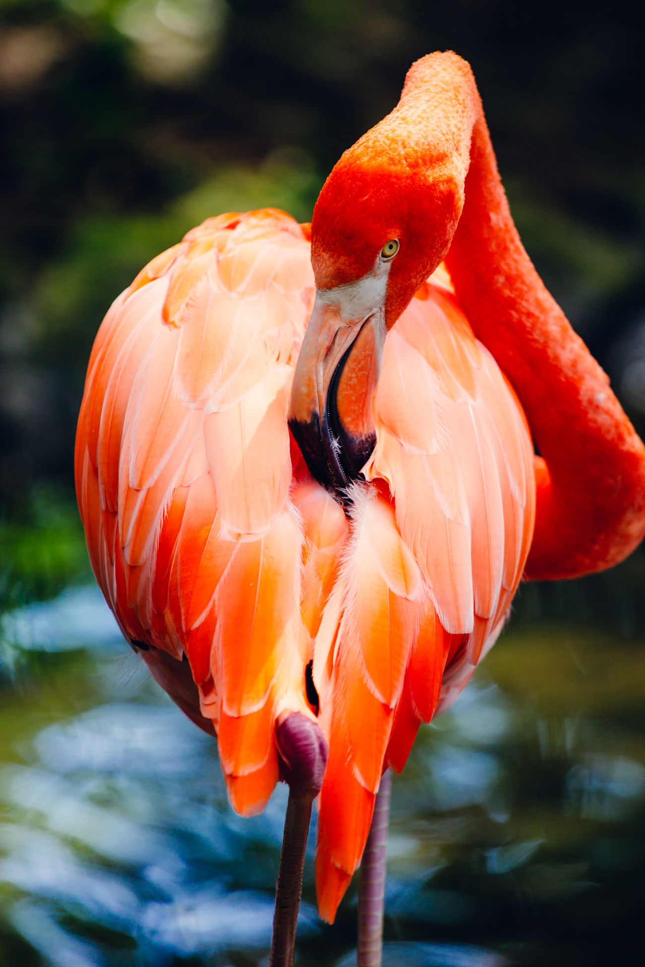 A pink red flamingo cleaning its feathers, looking into the camera. Bird Exotic Flamingo Nature One Animal Pink Pink Color Portrait Rosy Tropical Wildlife