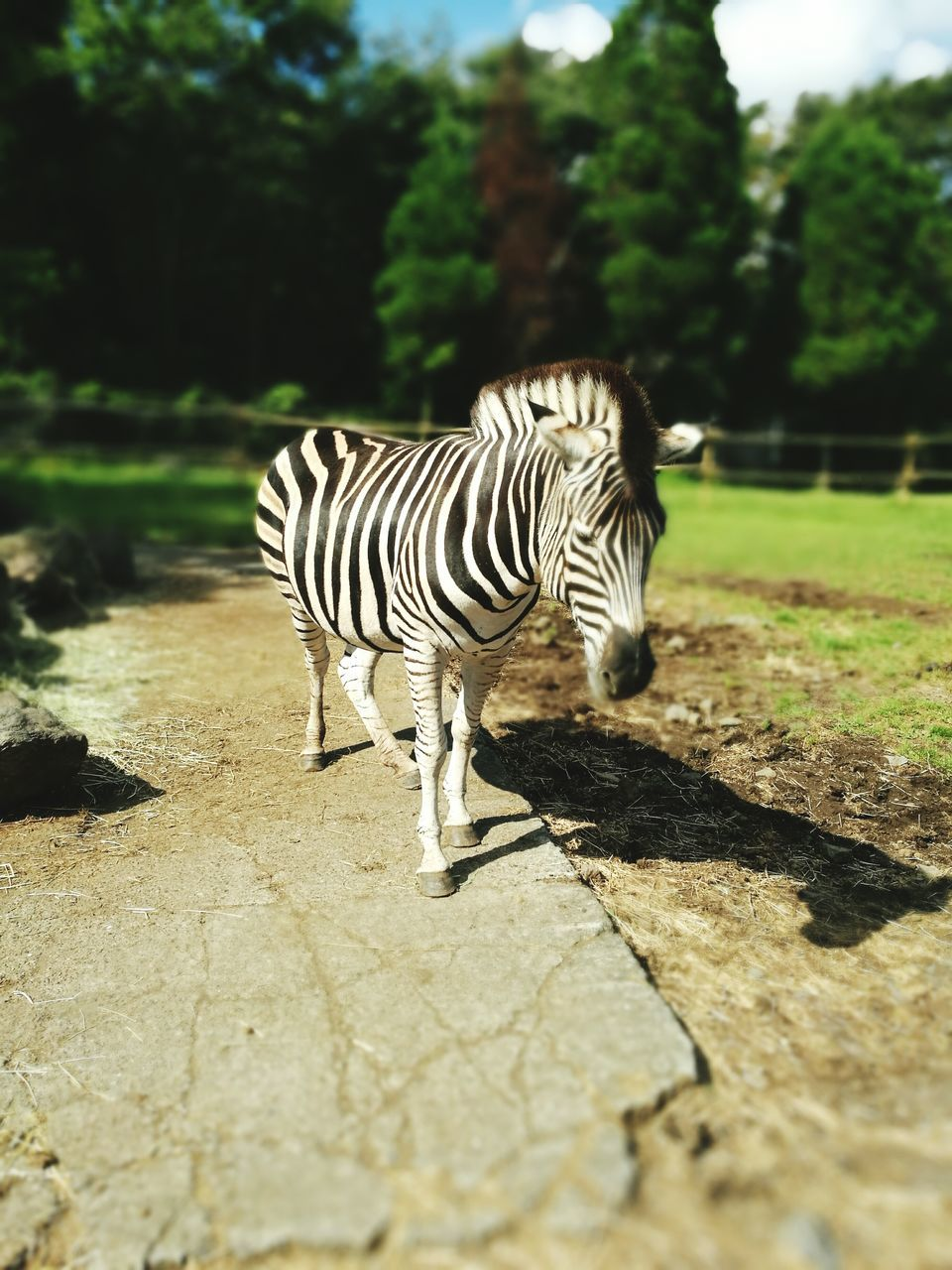 striped, animal themes, one animal, animals in the wild, animal wildlife, day, mammal, full length, outdoors, zebra, nature, shadow, animal markings, sunlight, no people, standing, tree, close-up