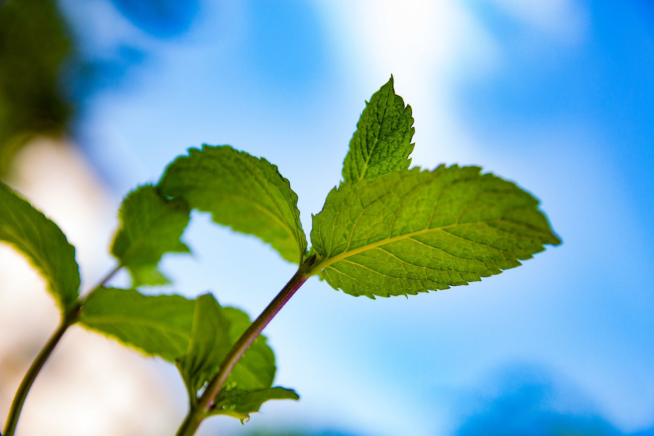 leaf, green color, nature, growth, close-up, day, focus on foreground, outdoors, beauty in nature, plant, blue, freshness, no people, fragility, sky, tree