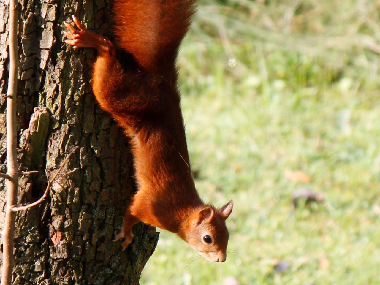 one animal, animal themes, mammal, squirrel, animals in the wild, animal wildlife, day, no people, nature, focus on foreground, outdoors, tree, close-up, red panda