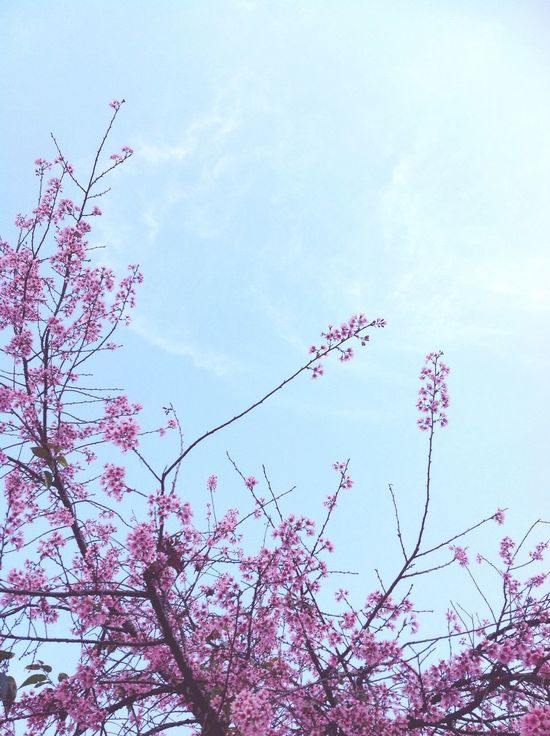 Flower Pink Pink Flower Sky Blue Sky Blue By Me Thanhthanh Ryeo
