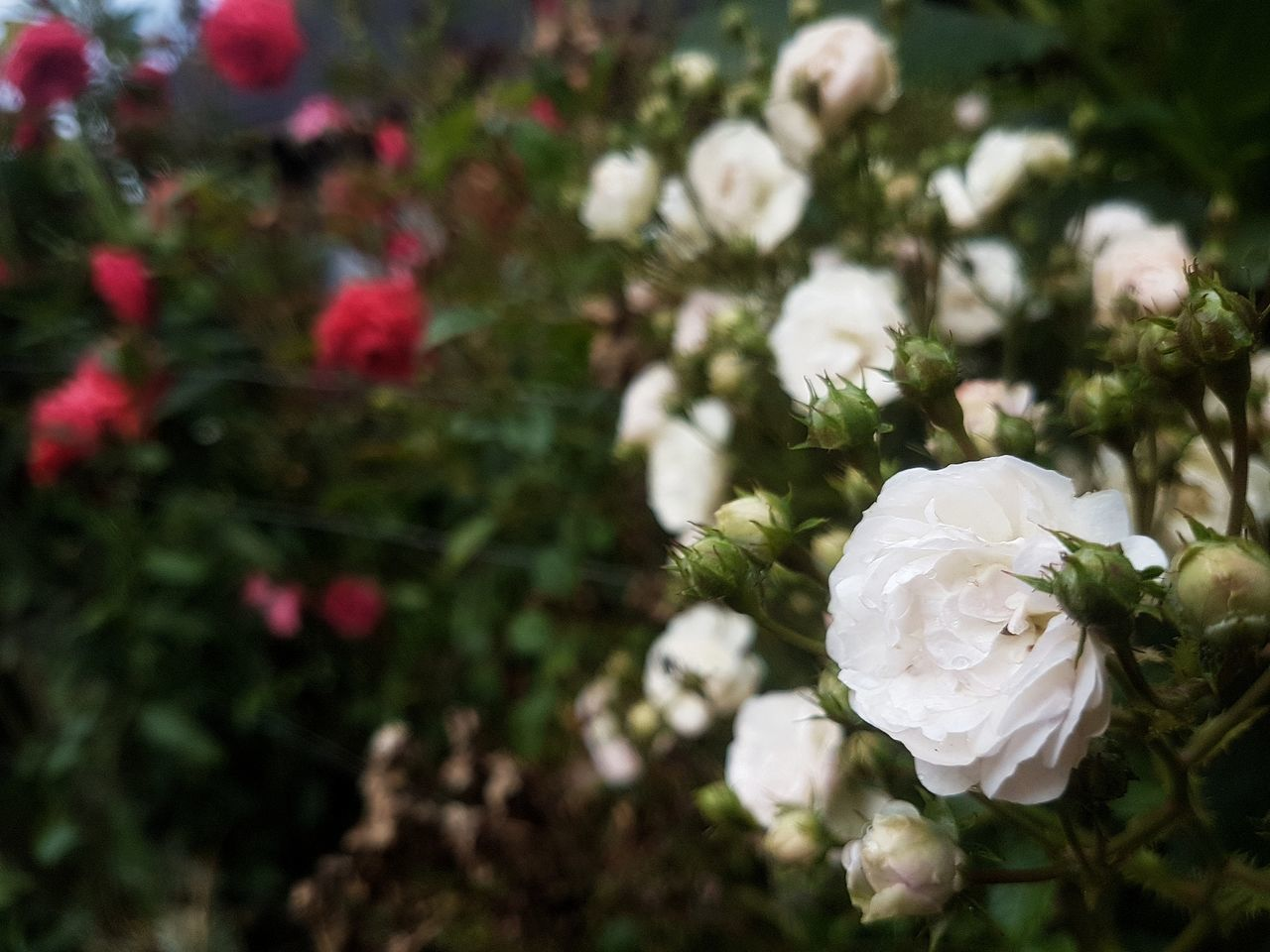 [TFC] Flower Growth Nature Plant Close-up Freshness Beauty In Nature No People Fragility Day Flower Head Outdoors Tranquility Nature Scenics Freshness Green Color Inspirations Red White Colors Lifestyles Roses Flowers Garden