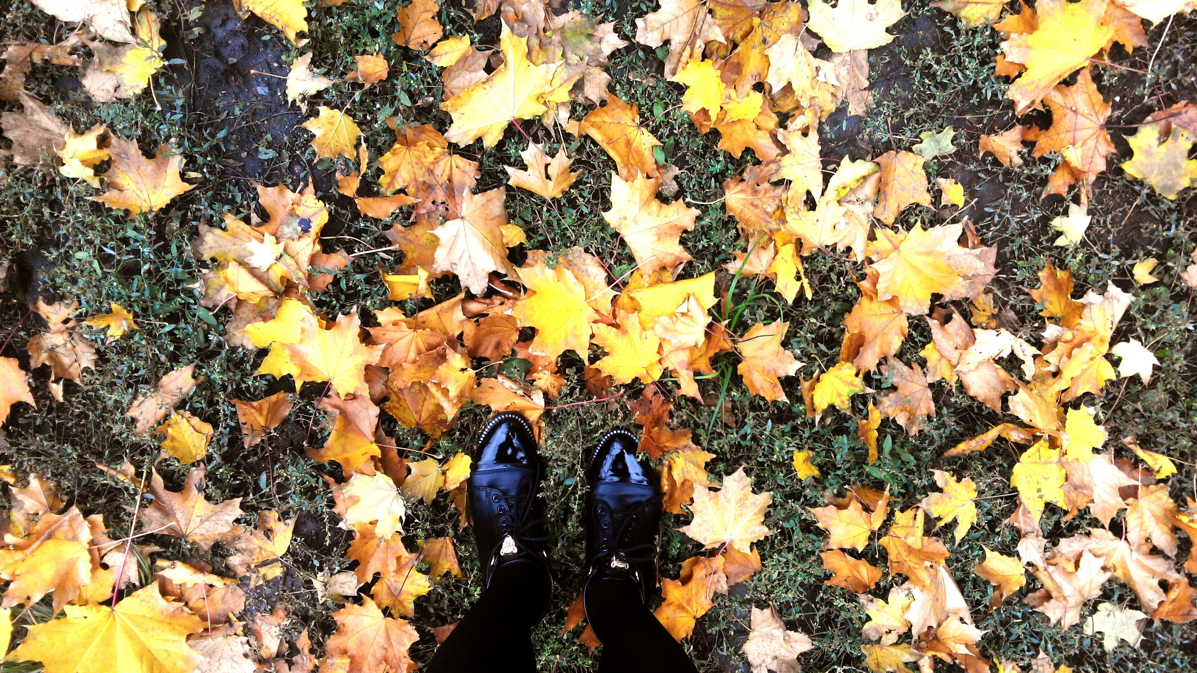 season, change, autumn, low section, leaf, person, personal perspective, shoe, standing, dry, high angle view, leaves, human foot, falling, covering, lifestyles, directly above, footwear, natural condition, leisure activity, abundance, fallen, maple leaf, field, day, yellow, nature, outdoors