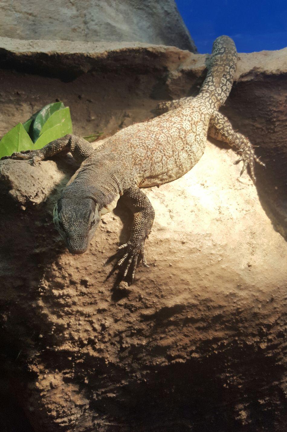 Lezard Animal Themes Nature Beauty In Nature Varan