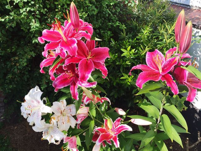 Flowers Fragility Nice Lilies Pink Color Growth