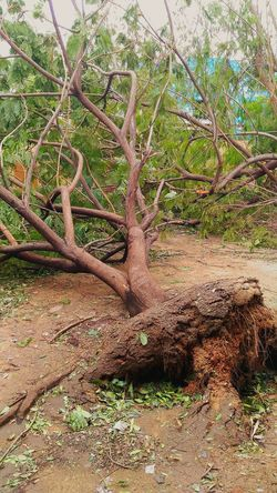 Aftermath Cyclone Storm Tree Nature Naturelovers Uprooted Roots Chennai India