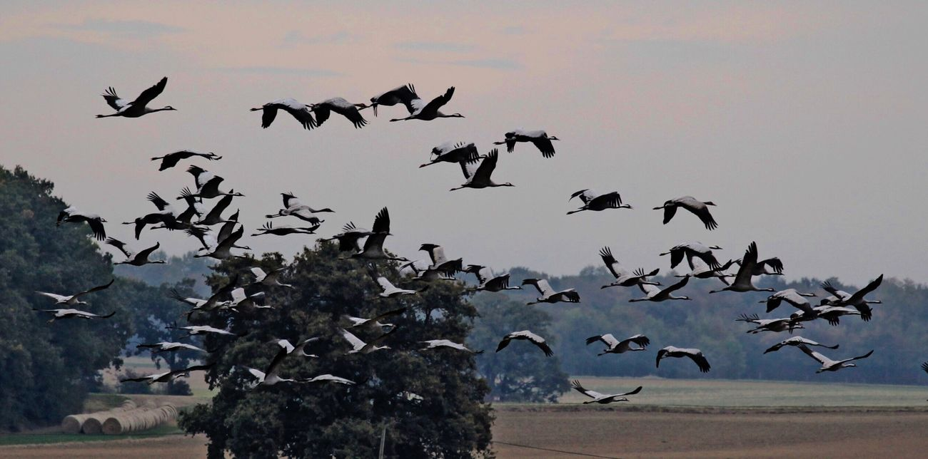 Bird Photography Beauty In Nature Nature_collection Crane Bird Migrating