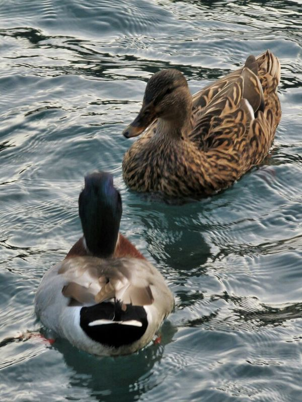Taking Photos ducks nature_collection eye4photography  Nature animals by Simodenegri
