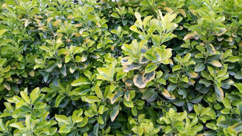 Hedge Wall Springtime Green And Yellow  Patterns