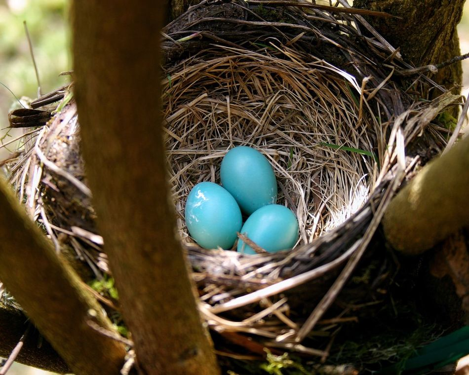 Robin eggs - a sign of spring! Egg New Life Beginnings No People Blue Nature Fragility Bird Nest Spring Bird Robin