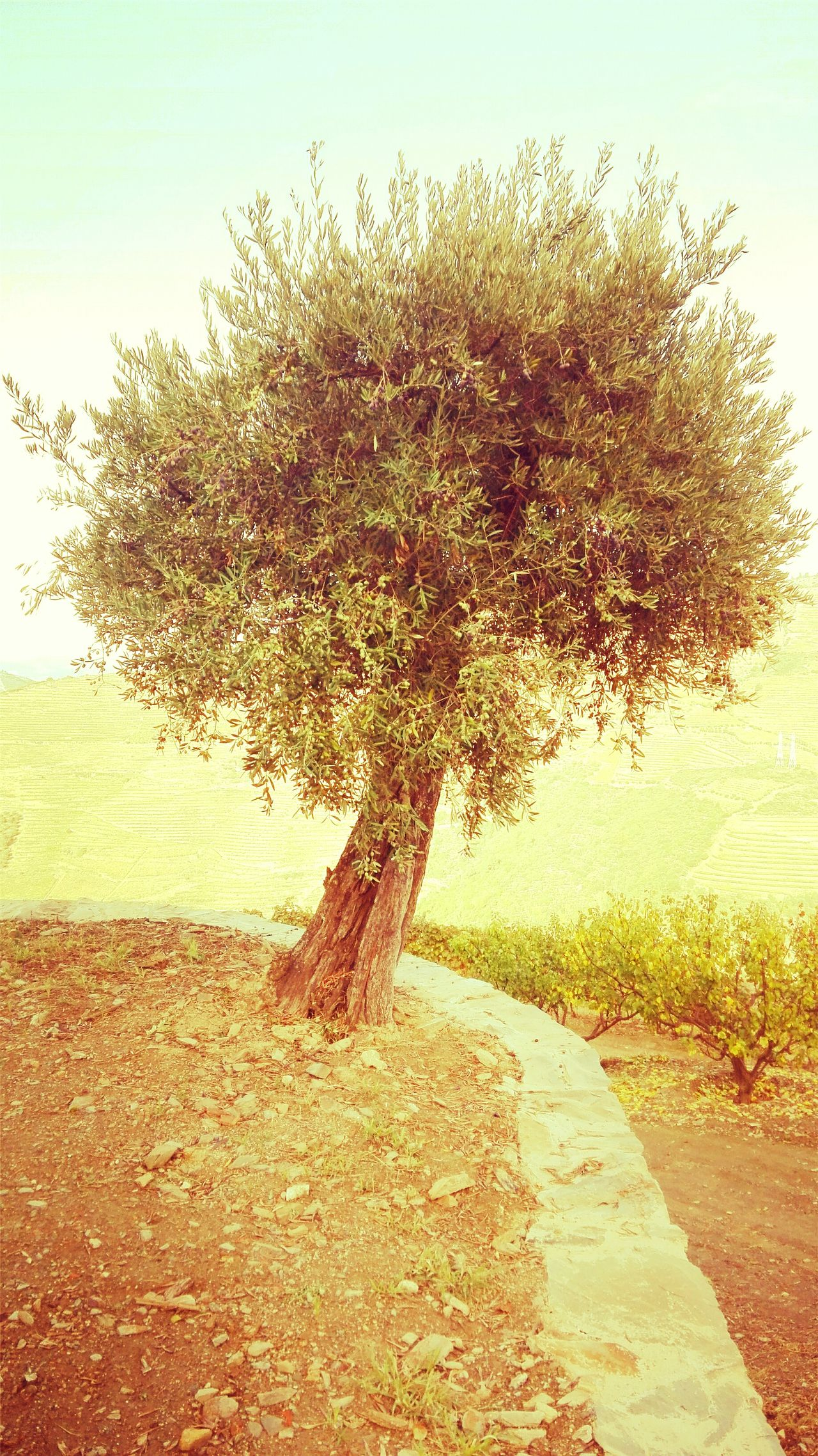 Tree Nature Outdoors Beauty In Nature Olive Tree Douro  Trás Os Montes