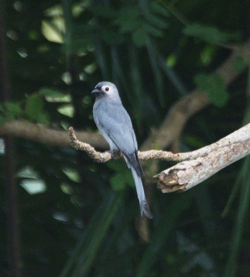Wildlife & Nature Photography, Birds Collections, Ashley Drongo, Beauty In Nature One Animal Animal Themes Animals In The Wild Green Color Nature Bird Day