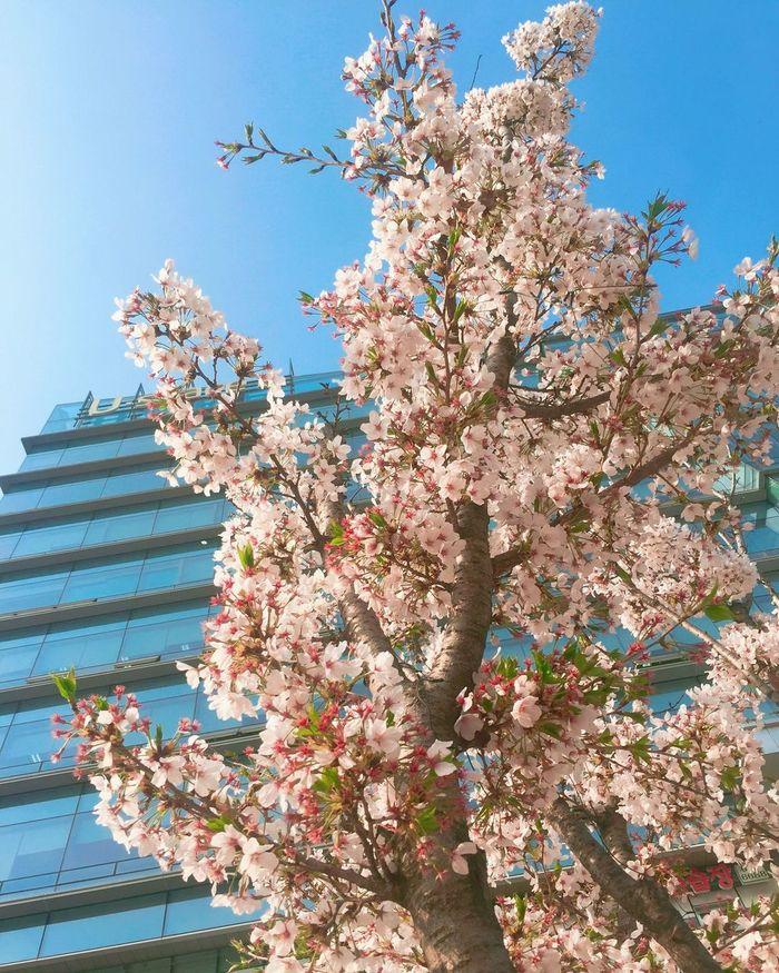 Spring Flower Pangyo