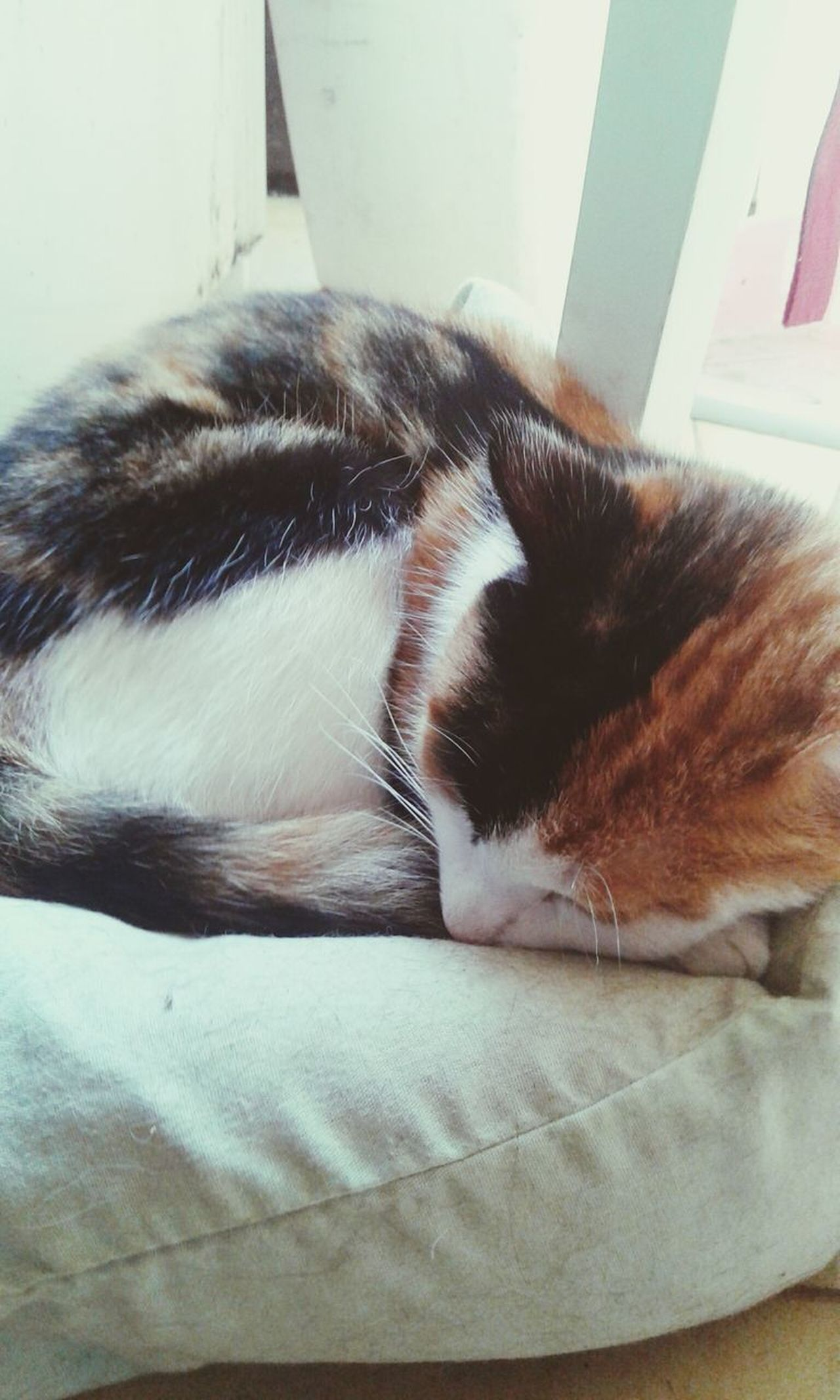 Pets Domestic Animals Relaxation Animal Themes Domestic Cat One Animal People Girl Lovely Love Tranquility Lovers Smile❤ Girly No People Beauty In Nature Sleeping Eyes Closed  Eyes Closed  Nature Photography Cat♡ Cat Cat Lovers