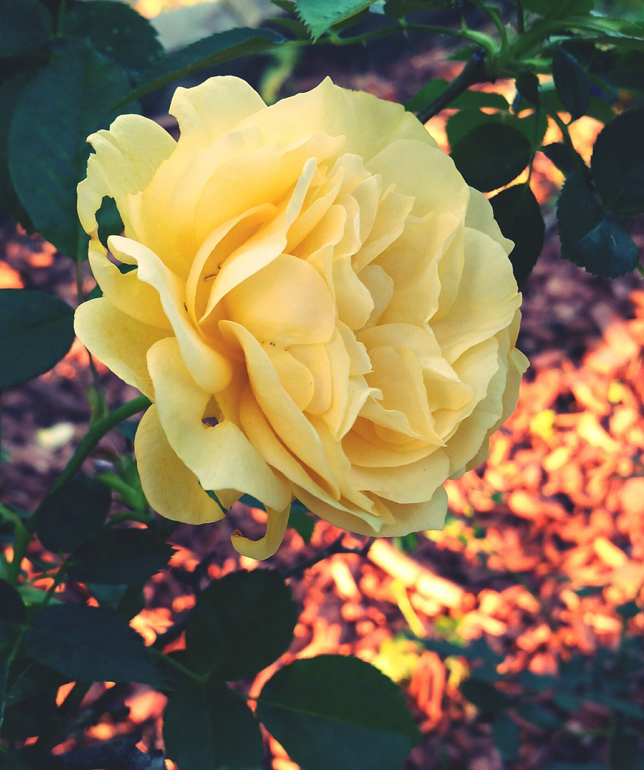 Yellow Rose of Texas Flower Nature Yellow Beauty In Nature Petal Close-up Plant Fragility Growth Outdoors Freshness Blooming Flower Head No People Day Eyemphotos Popular Photos Eye Em Nature Lover Roses Naturelovers Naturephotography In My Neighborhood Yellow Rose My Photography