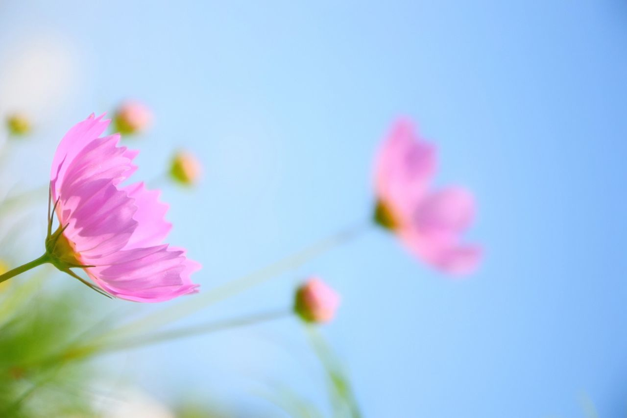 flower, fragility, beauty in nature, nature, growth, petal, freshness, no people, pink color, close-up, clear sky, plant, blooming, outdoors, day, flower head, springtime, low angle view, sky