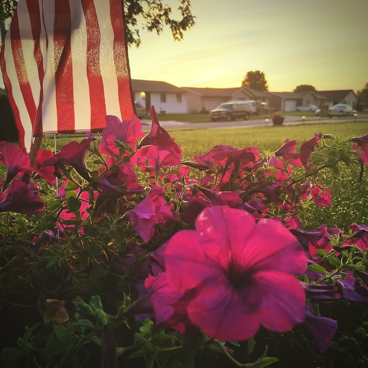 flower, growth, nature, beauty in nature, petal, fragility, outdoors, flower head, plant, freshness, sky, no people, blooming, sunset, field, day, close-up, red, petunia