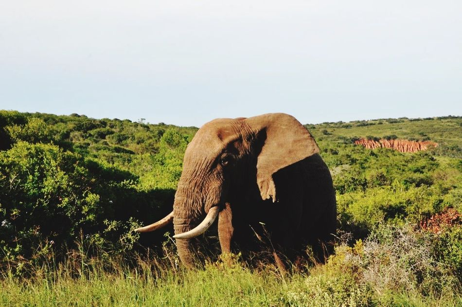 Beautiful stock photos of elephant, Animals In The Wild, Copy Space, Day, Elephant