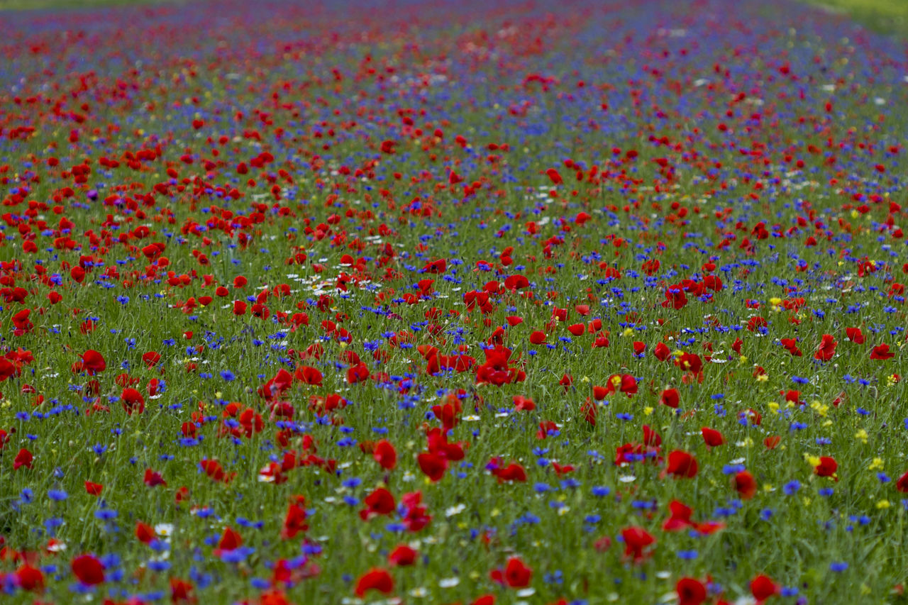 Backgrounds Beauty In Nature Blue Close-up Day EyeEm Best Shots EyeEm Gallery EyeEm Nature Lover Flower Flowers Full Frame Multi Colored No People Outdoors Poppy Poppy Flowers Red Spring Summer