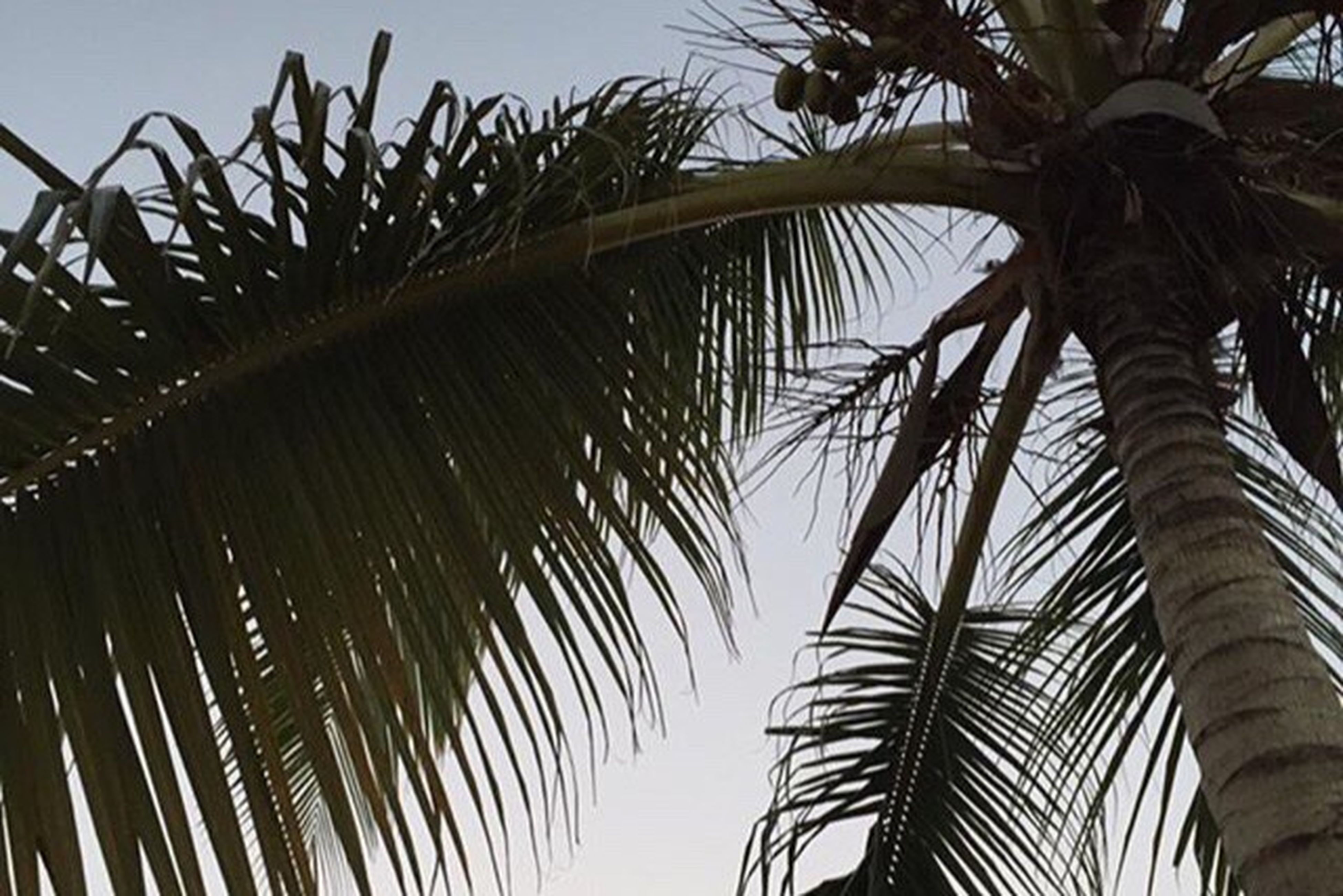 palm tree, palm leaf, low angle view, tree, growth, tropical tree, nature, coconut palm tree, tranquility, leaf, sky, tree trunk, branch, beauty in nature, palm frond, tropical climate, clear sky, no people, outdoors, day