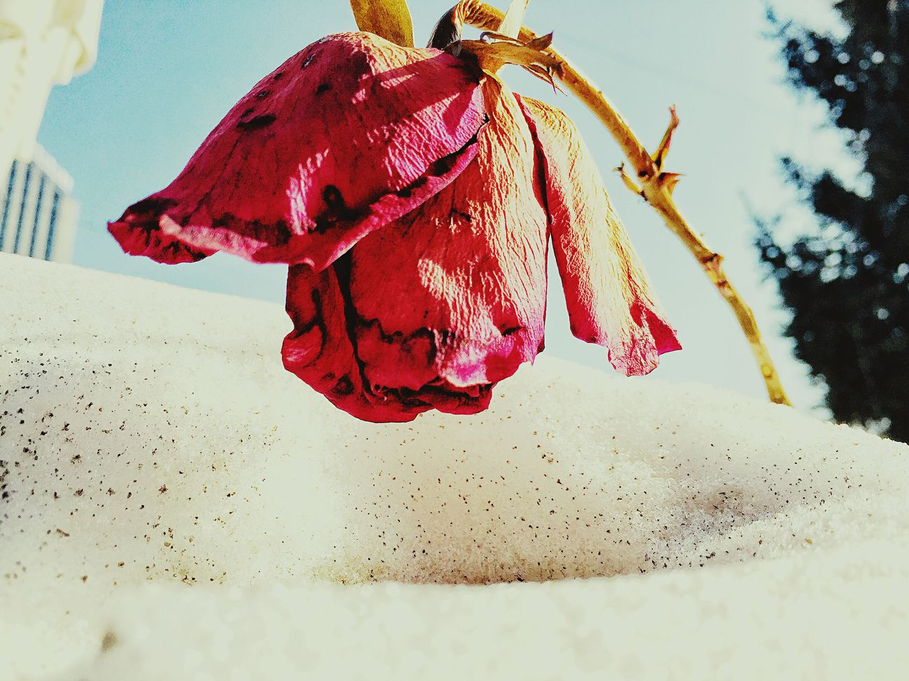 Red rose No People Close-up Beach Sand Day Outdoors Nature Beauty In Nature Water Sky