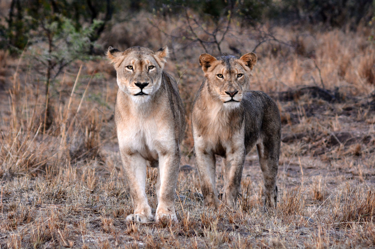 Young Lions! Seen in Kruger Park, South Africa Africa Animal Animal Wildlife Animals In The Wild Couple Couples Dangerous First Eyeem Photo Kruger Park Lion Lion - Feline Lions No People Outdoors Safari Safari Animals South Africa Travel Two Wild